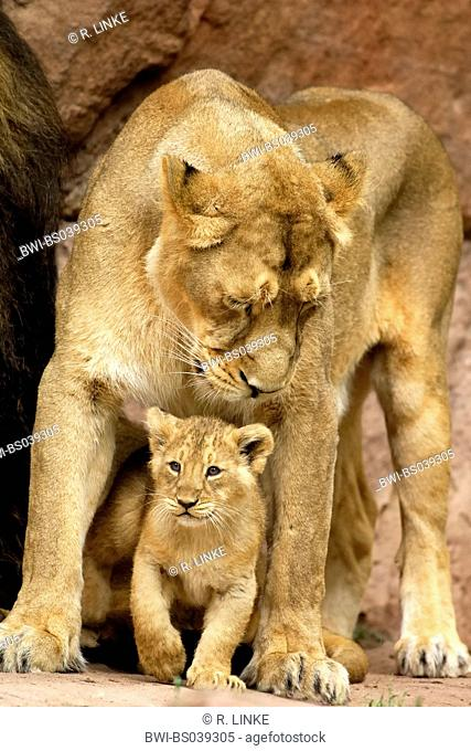 lion (Panthera leo), cub between the lags of its mother