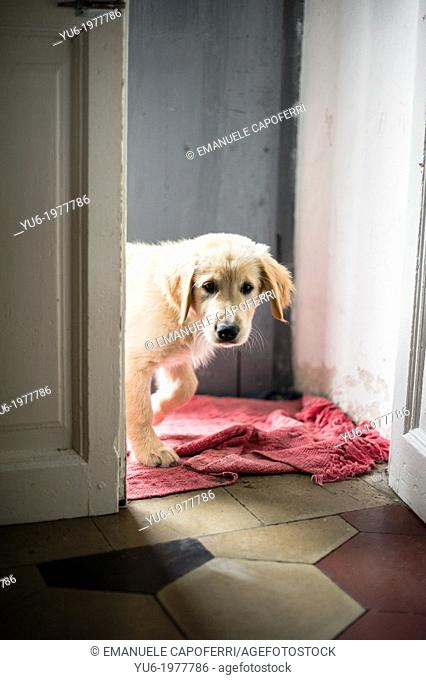 Golden Retriever puppy as he enters the door