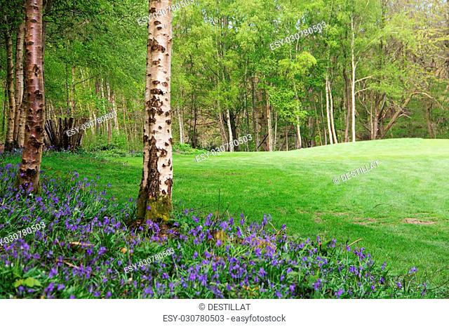 Beautiful landscape with Bluebell flowers in spring forest
