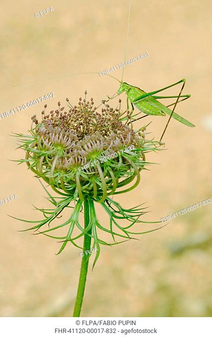Great Green Bush-cricket Tettigonia viridissima adult, resting on Wild Carrot Daucus carota flowerhead, Italy, july