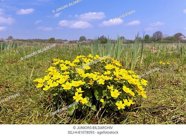 Kingcup, Marsh Marigold (Caltha palustris), flowering. Germany