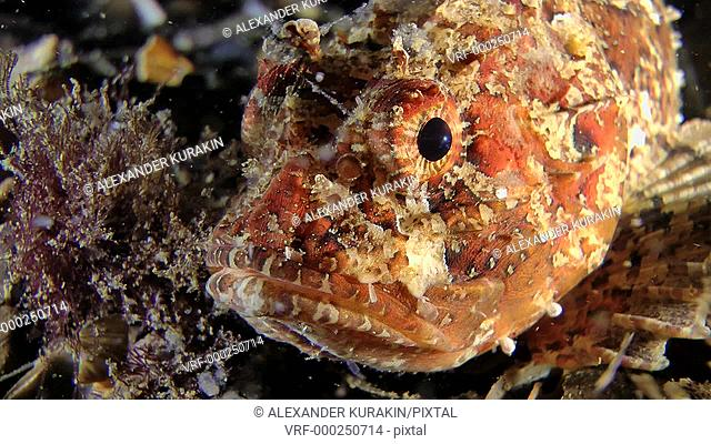 Portrait of a half-turned of European black scorpionfish (Scorpaena porcus), close-up. Black Sea. Ukraine