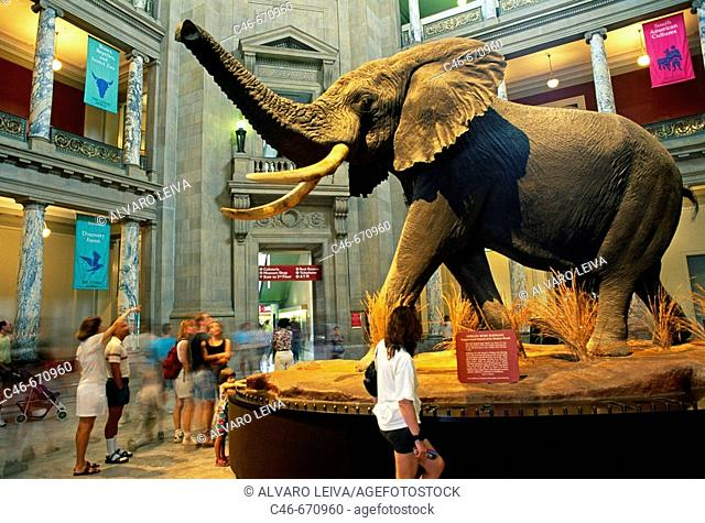 African Bush Elephant in the National Museum of Natural History, Washington DC. USA
