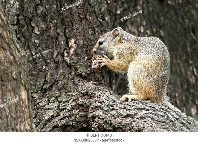 Smith's bush squirrel (Paraxerus cepapi) on the branch of a tree holding an overripe marula (Sclerocarya birrea) in his claws, South Africa, Mpumalanga
