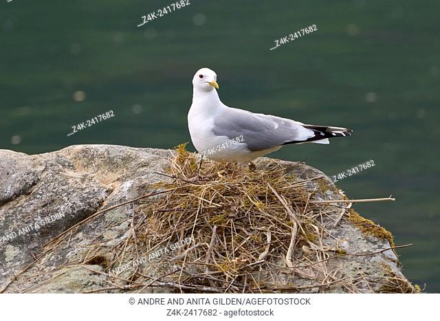 Common Gull (Larus canus) nesting on a rock