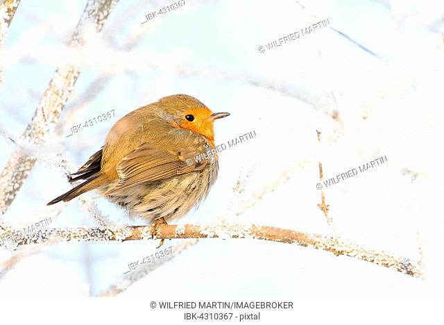 Robin (Erithacus rubecula) sitting on branch with hoarfrost, Hesse, Germany