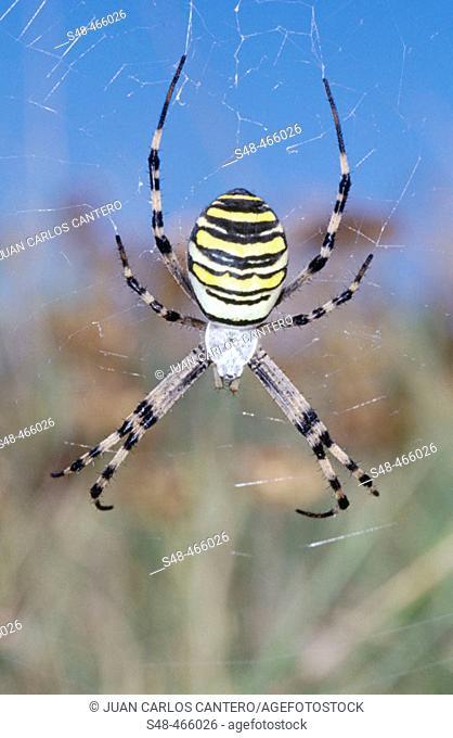 Wasp spider (Argiope bruennichii). Urdaibai Biosphere Reserve. Vizcaya province. Spain