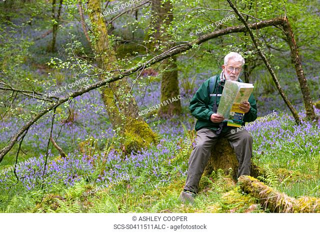 A man rading a map in bluebell woodland near Coniston UK