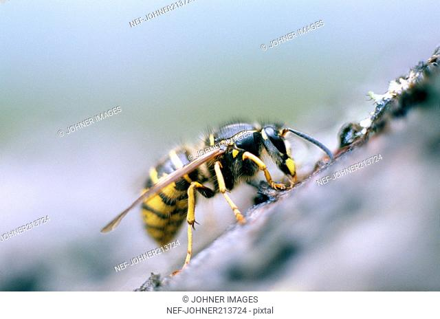 A wasp, close-up, Sweden