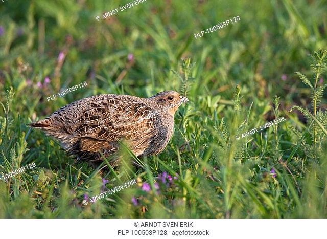 Partridge bird Stock Photos and Images | age fotostock