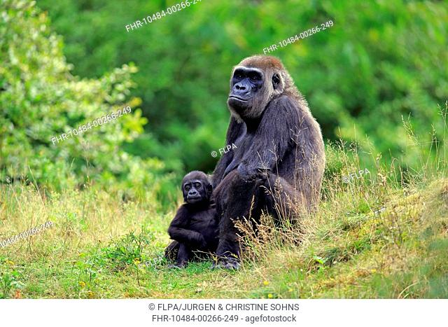 Western Lowland Gorilla (Gorilla gorilla gorilla) adult female with young, sitting on grass (captive)