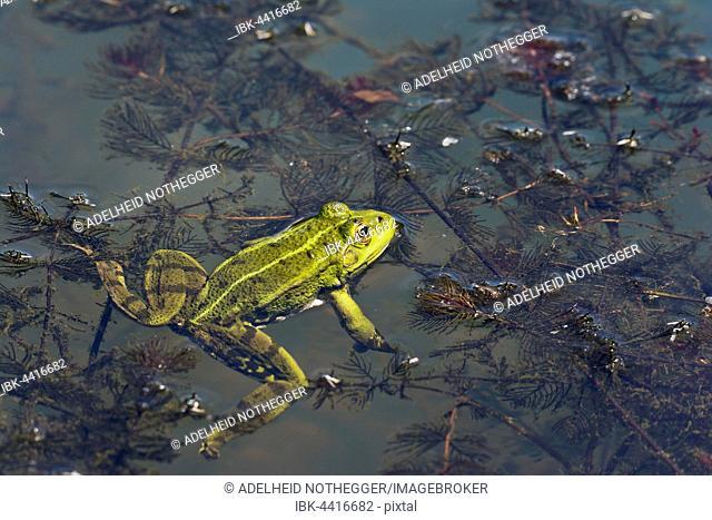 Edible frog (Rana esculenta), in water, Burgenland, Austria