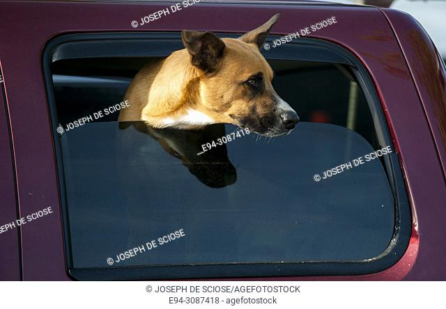 A large brown dog with his head out of a car window looking to the right
