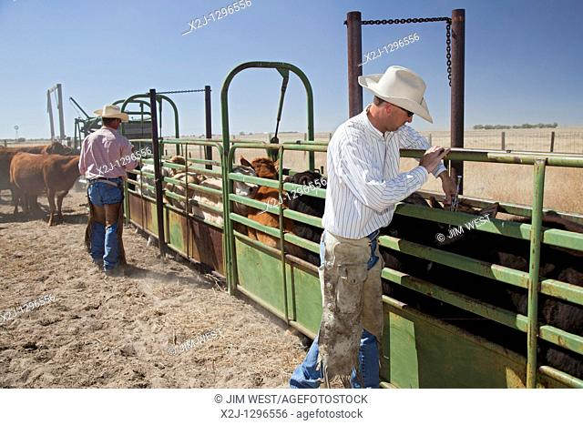 Yoder, Colorado - Calf vaccination on the Bohart Ranch, a working cattle ranch that is managed in partnership with the Nature Conservancy to maintain the...