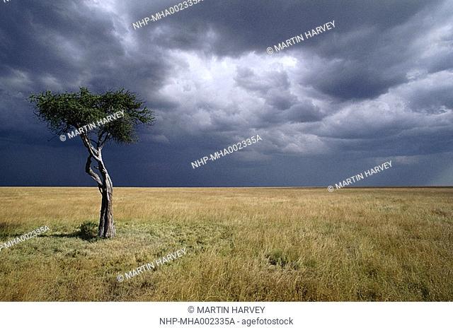 SAVANNA with tree & storm clouds Masai Mara National Reserve, Kenya