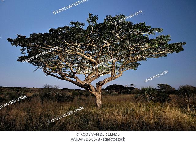 Pod mahogany in evening, Tembe Elephant Park, Maputaland, KwaZulu Natal, South Africa