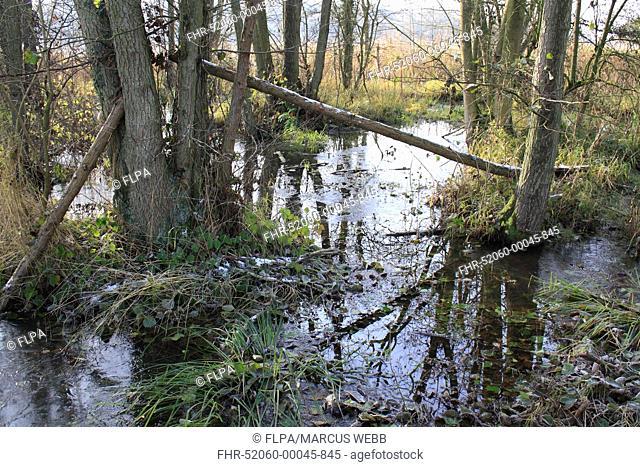 Common Alder Alnus glutinosa alder carr wet woodland habitat with ice, in river valley fen, Redgrave and Lopham Fen N N R , Waveney Valley, Suffolk, England