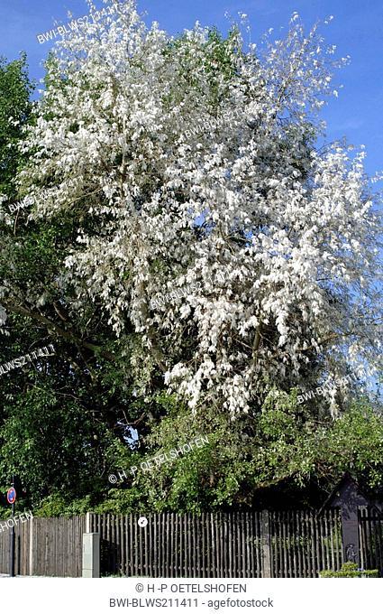 white poplar, silver-leaved poplar, abele Populus alba, fruiting tree, Germany