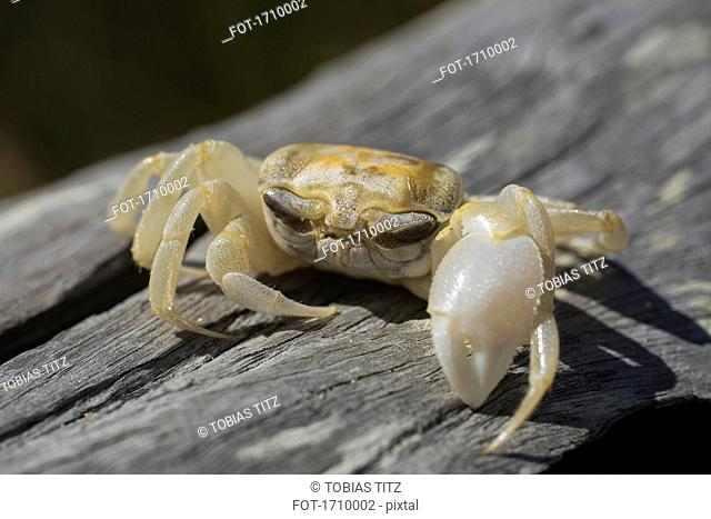 Close-up of crab on wood, Bermagui, New South Wales, Australia