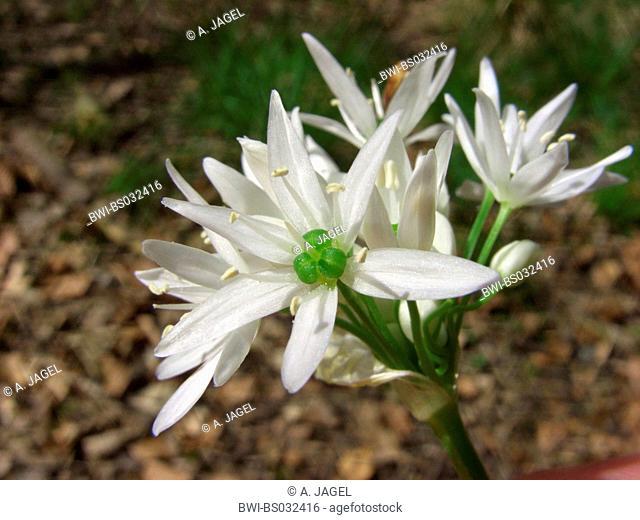 ramsons, buckrams, wild garlic, broad-leaved garlic, wood garlic, bear leek, bear's garlic (Allium ursinum), inflorescence