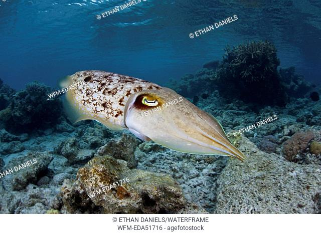 Broadclub Cuttlefish, Sepia latimanus, Loyalty Islands, New Caledonia