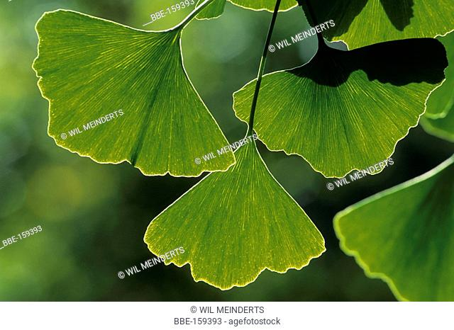Gingko leaves in close-up