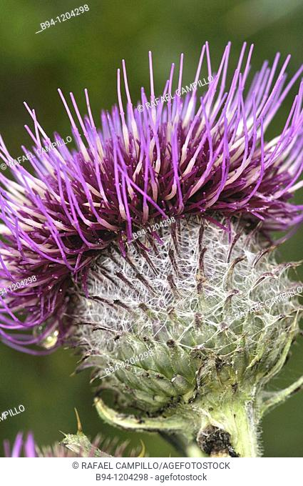 Thistle (Cirsium sp., fam. Asteraceae). Osseja, Languedoc-Roussillon, Pyrenees Orientales, France