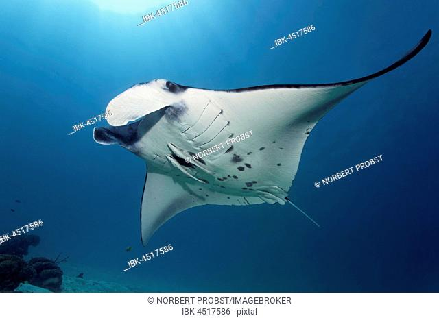 Reef manta ray (Manta alfredi) with two Slender sharksucker (Echeneis naucrates), Raja Ampat Archipel, Papua Barat, West New Guinea, Pacific, Indonesia
