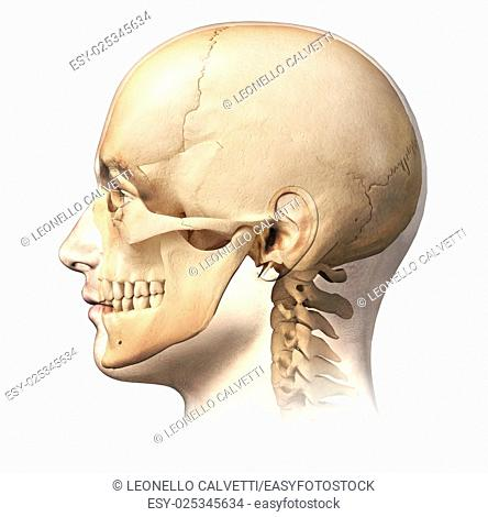 Male human head with skull in ghost effect, side view. Anatomy image, on white background, with clipping path