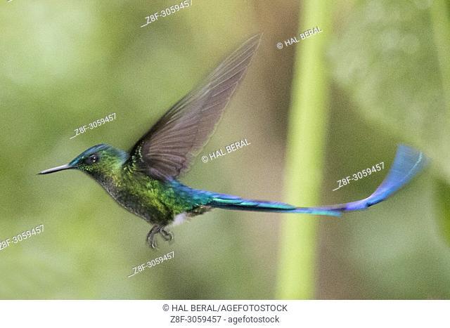 Long-Tailed Slyph Hummingbird male flying (Aglaiocercus kingii). Ecuador