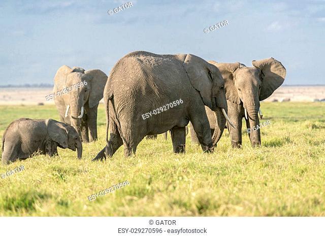 Group of African bush elephants (Loxodonta africana) grazing at Amboseli savannah, Kenya