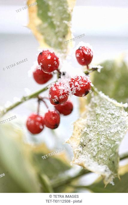 Snow dusted holly berries