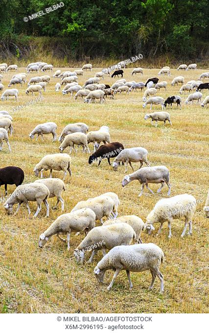 Flock of sheeps in a wheat field. Antoñana, Campezo. Alava, Basque Country, Spain, Europe
