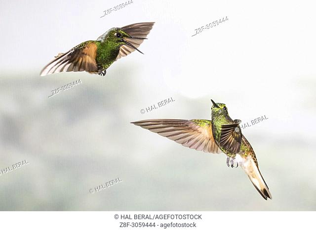 Pair of Buff-Tailed Coronet Hummingbirds flying (Boissonneaua flavescens). Ecuador