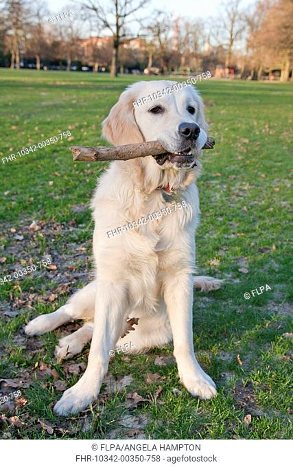 Domestic Dog, Golden Retriever, puppy, playing with stick in parkland, England, february