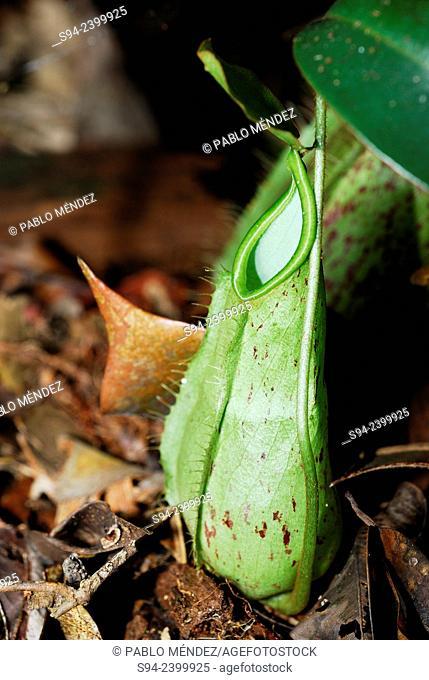 Pitcher plant (Nepenthes spp.) in Kubah national park, Sarawak, Malaysia, Borneo