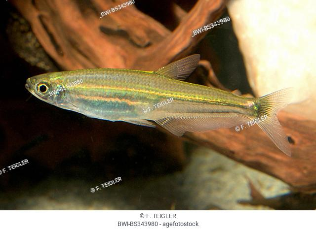 Slender tetra (Iguanodectes spilurus), full length portrait