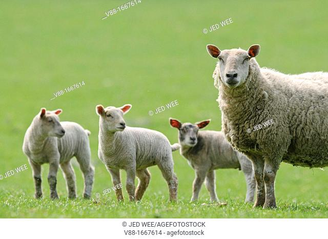 A mother ewe with three lambs, domestic sheep, Ovis aries in a field in North Yorkshire, England