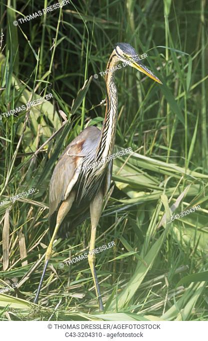 Purple Heron (Ardea purpurea). Hunting in the reed of a bank slope at a canal. Ebro Delta Nature Reserve, Tarragona province, Catalonia, Spain