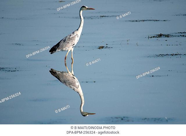 Grey heron, kaziranga national park, Assam, india, asia
