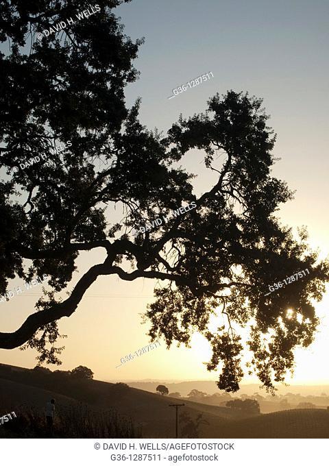 Oak tree at sunrise near Paso Robles, California, United States America