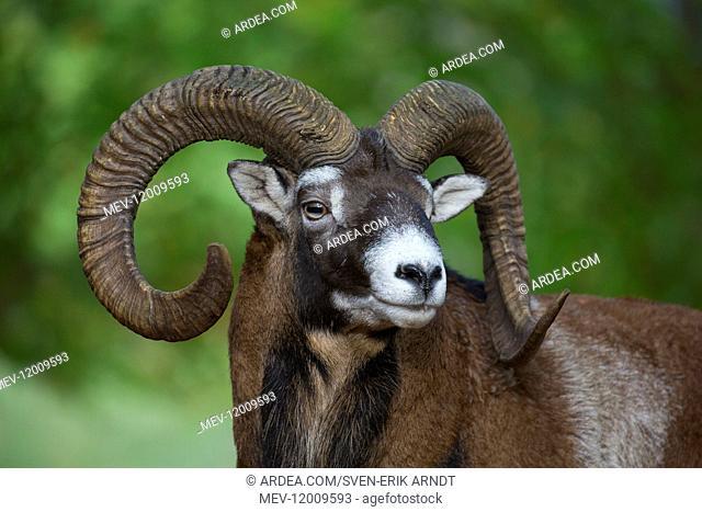 Mouflon - ram portrait - Germany