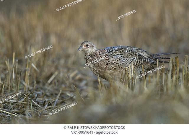 Female Ring-necked pheasant / (Phasianus colchicus ) sneaking away in a stubble field, harvest time