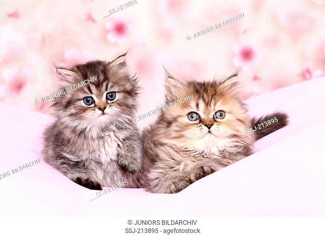 Persian Longhair. Two kittens (6 weeks old) lying on a pink blanket. Germany