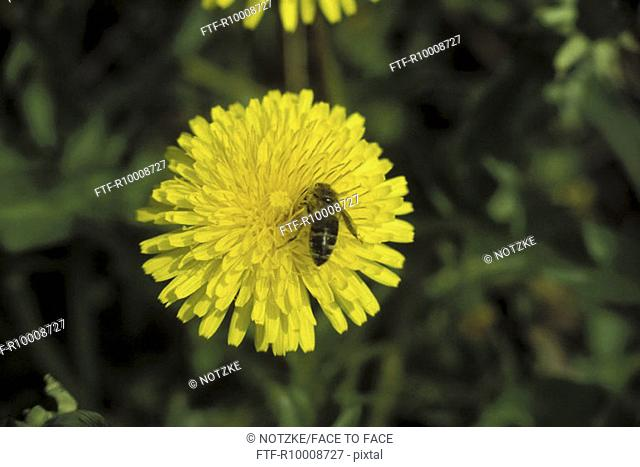 Bee on dandelion blossom