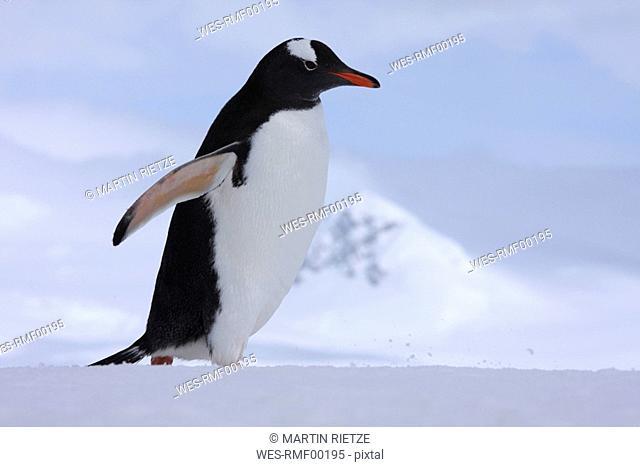 Antarctica, South Shetland Penguin, Gentoo Penguin Pygoscelis papua