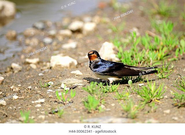 Barn Swallow, Hirundo rustica, Hirundinidae, Swallow, adult, bird, animal , Island of Rügen, Mecklenburg-Western Pomerania, Germany