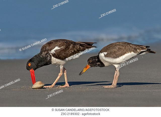 An American Oystercatcher chick carefully observes the parent opening a clam for breakfast