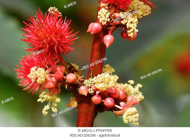 Ricinus, Ricinus communis