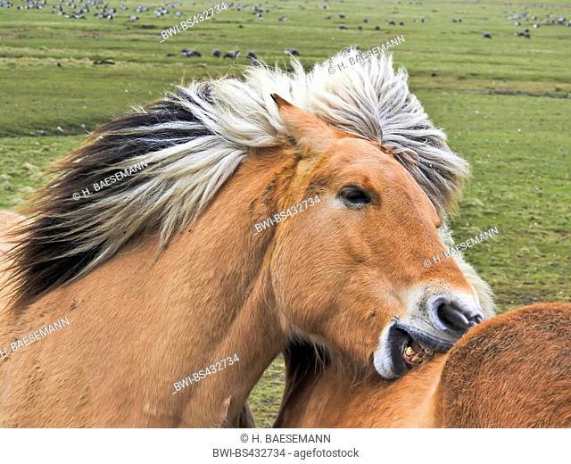 Fjord horse, Norwegian horse (Equus przewalskii f. caballus), Fjord horses pair grooming, Germany, Schleswig-Holstein, Northern Frisia, halli Hooge